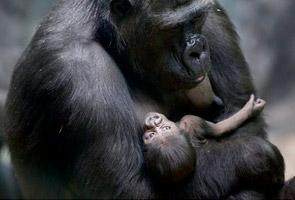 Gorilla lahirkan anak di zoo Moscow