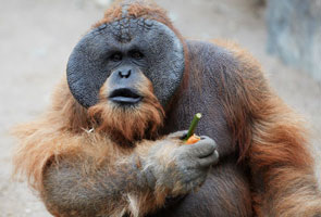 Fat Malaysian orangutan put on diet