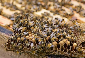 Bees may be addicted to harmful pesticides