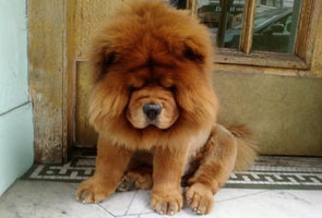 Zoo disguises dog as lion cover blown when dog barks