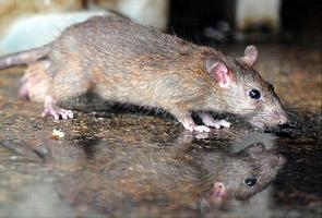 RM1 untuk seekor tikus yang ditangkap di KL