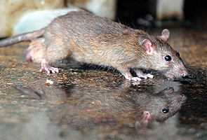 Eradicating rats the responsibility of all