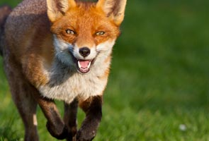 London, a playground for 10,000 urban foxes