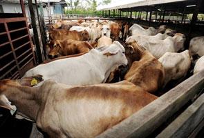 30 ekor lembu dilarikan dalam rompakan bersenjata di Melaka