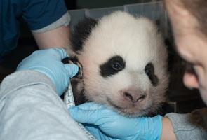 Watch Washington's baby panda 'treasure' on web cam