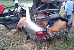 Dua lelaki kempunan, 4 ekor lembu curi ditemui dalam kereta