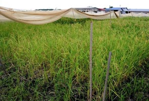 Farmers in Kelantan to face RM90mln in losses due to drought