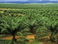 Palm production in Indonesia rising for first time in six months
