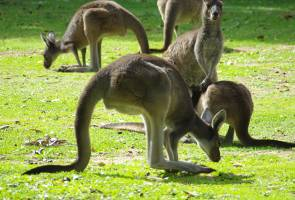 Most kangaroos left handed: Australia researchers
