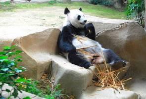 Netizen ucap tahniah atas kelahiran bayi panda di Zoo Negara