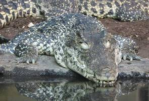 2.5 metre long male Sarawak river croc meets its end