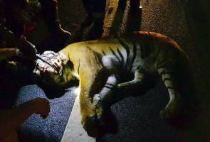 "LPT2 incident: ""My heart broke when I hit the tiger"" - MPV driver"