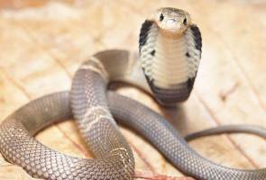 48 snakes, mostly cobras, caught in Bagan Datuk between January and May
