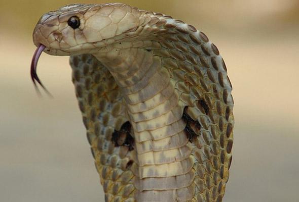 12 maut makan daging lembu yang mati dipatuk ular
