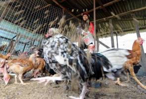 H5N1 virus infected 'kampung' chicken, not commercial chicken