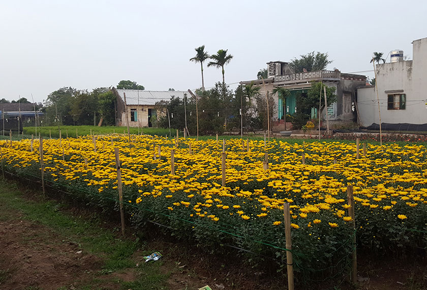 A field of chrysanthemums on a farm in Phu Long. - Photo by Karim Raslan