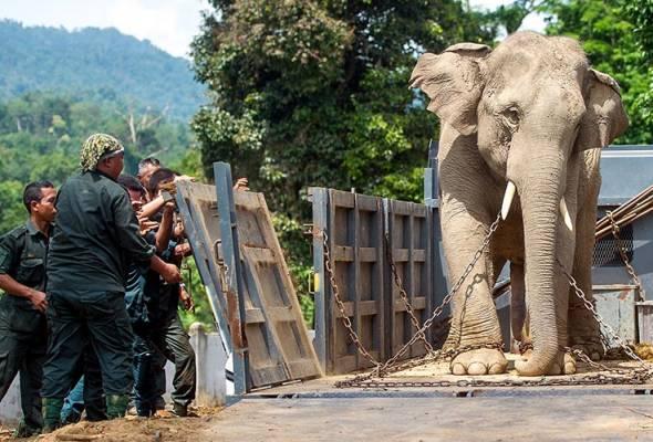Gajah liar musnah tanaman milik penduduk di Narathiwat ditangkap