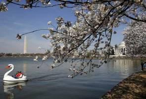 Cold snap whacks Washington's famed cherry blossoms