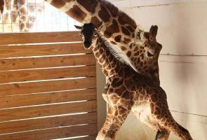 As millions watch via webcam, giraffe gives birth in NY zoo
