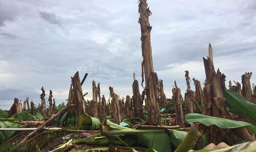 Farmers cut the banana trees in the Lapanday plantation once promised them out of poverty as a sign of protest in December 2016.