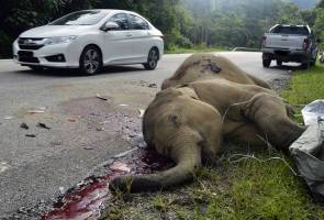 Woman driver crashes into elephant calf at Gerik