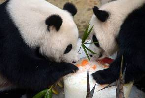 Giant panda pair to mate for second time - National Zoo