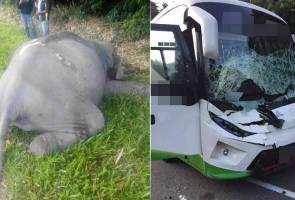 An elephant died after being hit by a bus in the Timur Barat Road (JRTB) here, early morning, today.