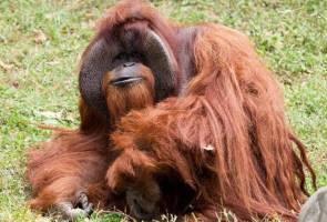 Perginya si Chantek, penghibur Zoo Atlanta