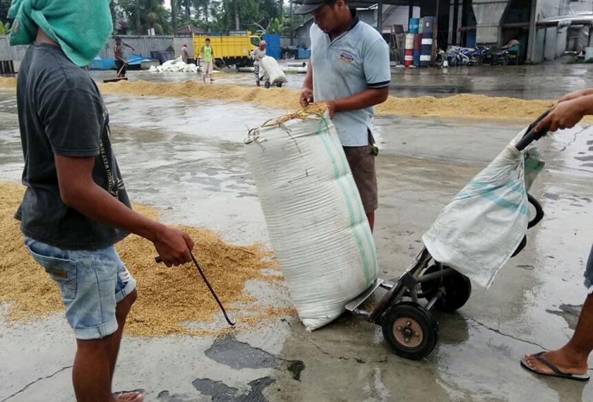 Meskipun mereka memiliki mesin pengering, namun para penggiling juga mengeringkan padi di bawah sinaran matahari. - Foto Karim Raslan