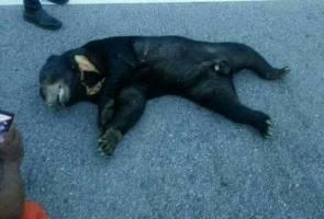 Beruang 100kg maut dilanggar motosikal di Terengganu