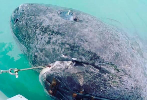 Ikan yu Greenland adalah vertebrata yang mempunyai jangka hayat paling lama di dunia
