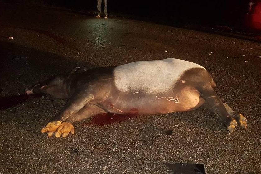 Tapir Malaya yang terlibat di dalam kemalangan di Jalan Gua Musang-Kuala Krai, Kelantan dan dalam sekelip mata dilapah oleh pengguna jalan raya yang lain untuk mencuri organ, kulit dan tulang tapir tersebut sebelum ketibaan Jabatan Perhilitan – Sumber orang awam