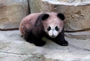Bayi panda pertama di Perancis 'Yuan Meng' buat penampilan sulung