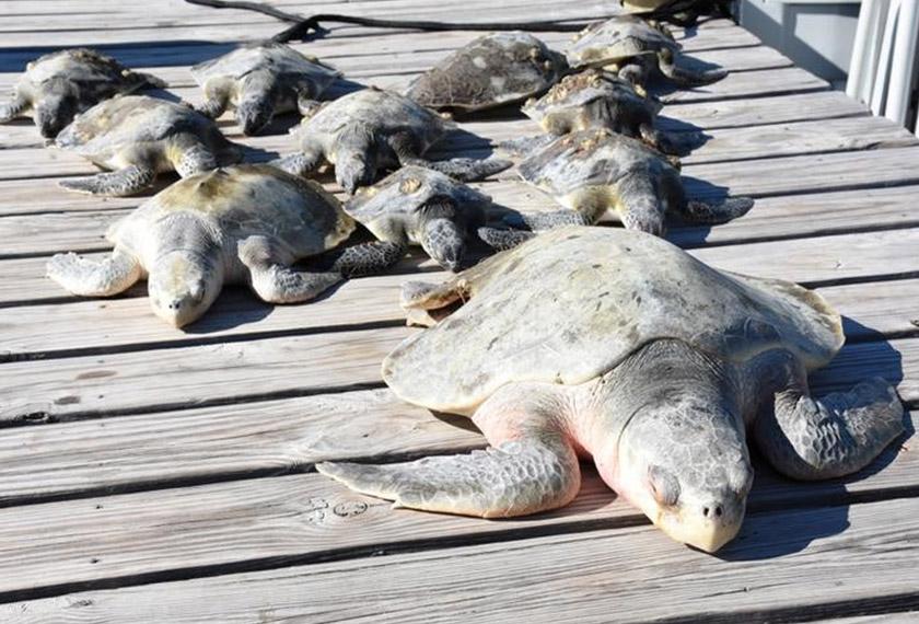 Dalam gambar yang Reuters peroleh dari media sosial ini, sekumpulan penyu diselamatkan daripada keadaan cuaca yang terlalu dingin di perairan Florida. - Reuters.