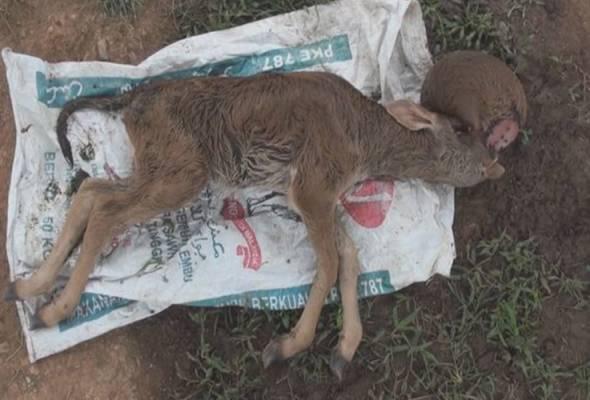 Penternak Changlun sebak lihat ibu lembu ratapi anak lahir tanpa hidung