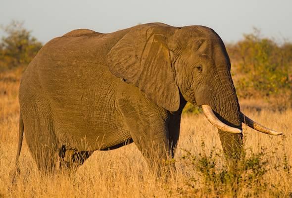 Hong Kong haramkan penjualan gading gajah
