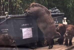 Babi hutan gergasi berkeliaran di Hong Kong