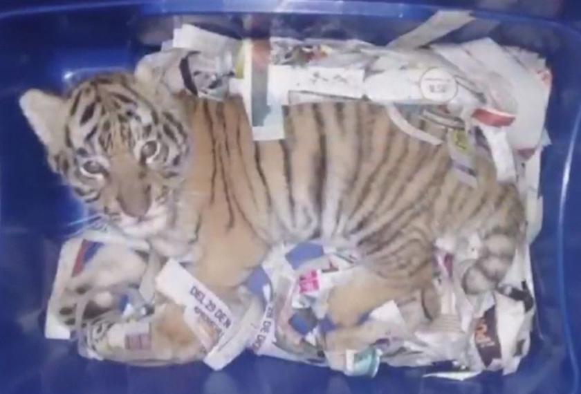 ANak harimau ini disorok di dalam kotak untuk diseludup