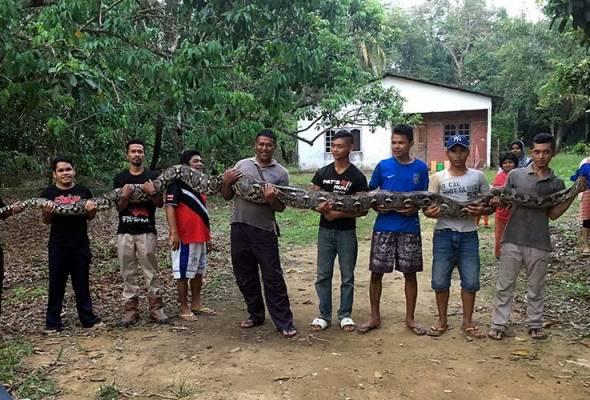 Ular berkenaan berjaya dikeluarkan selepas dijerut dan ditarik seramai tujuh orang penduduk kampung.