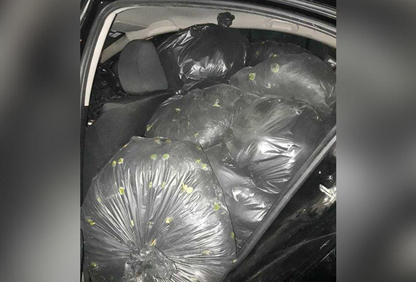 Bahagian tempat duduk belakang kereta itu sarat dengan guni berisi daun ketum.