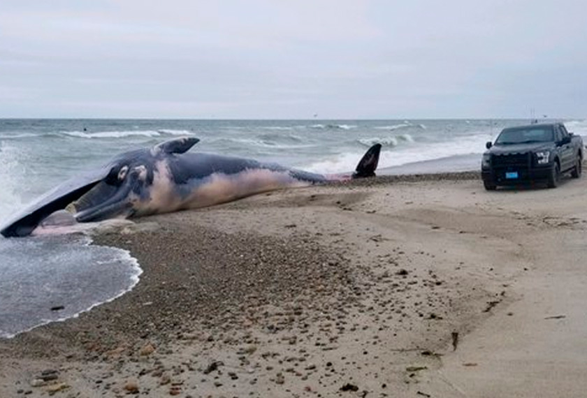 Paus berukuran 52 kaki panjang itu sebelum ini dilihat berenang Pantai Duxbury pada hujung minggu lalu. - Twitter/Duxbury_Police