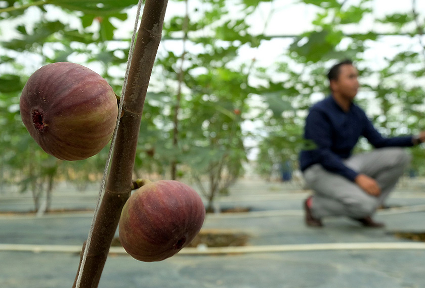 Siapa sangka tanaman yang berasal dari benua Asia Barat berjaya disuburkan di negara ini. - Bernama