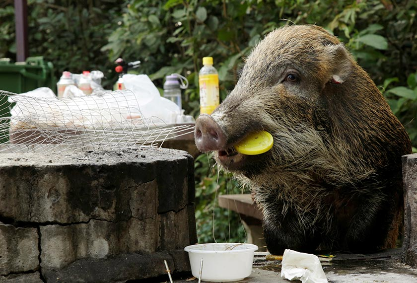 A wild boar holds a plastic lid in its mouth as it eats leftovers from a barbecue pit at the Aberdeen Country Park in Hong Kong, China on Jan 27, 2019. - REUTERS/Jayson Albano