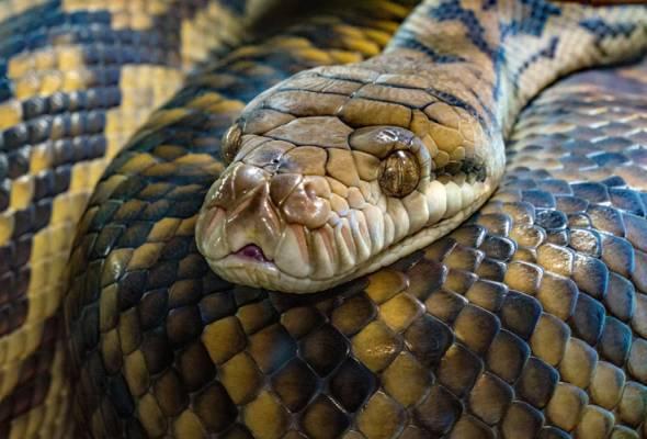 Hati-hati... sekarang saat ular sawa keluar habitat