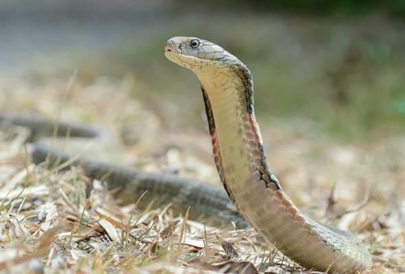 Disangkakan tali berjuntai, rupa-rupanya ular