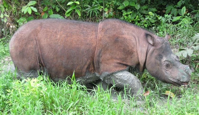 Kerajaan Malaysia, Sabah dan Borneo Rhino Alliance telah menjaga Tam dan badak-badak lain sejak 10 tahun lalu.