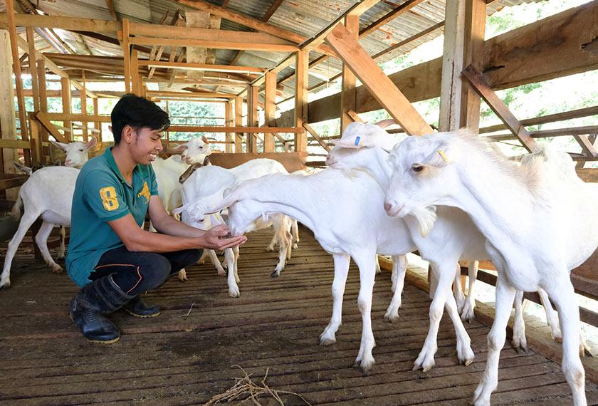 Ahmad memberi makanan kepada sekumpulan kambing baka Saanen yang terdapat di ladang Muhammad Livestock Farm yang kini menjadi tular sehingga ke negara jiran ekoran Remos Si Kambing Kacak. --fotoBERNAMA