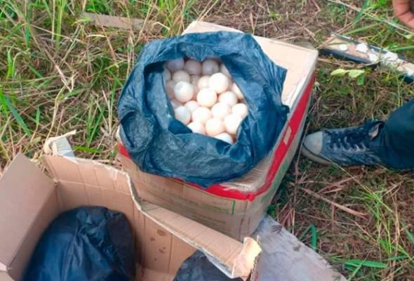 PPM gagalkan cubaan seludup 1,000 biji telur penyu