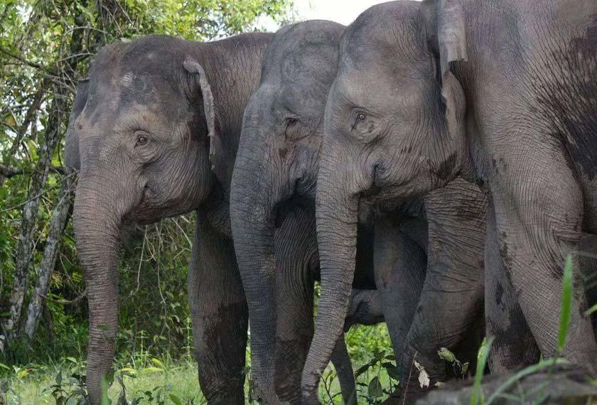 Gajah Pygmy Borneo juga dikenali dengan panggilan gajah kerdil Borneo.