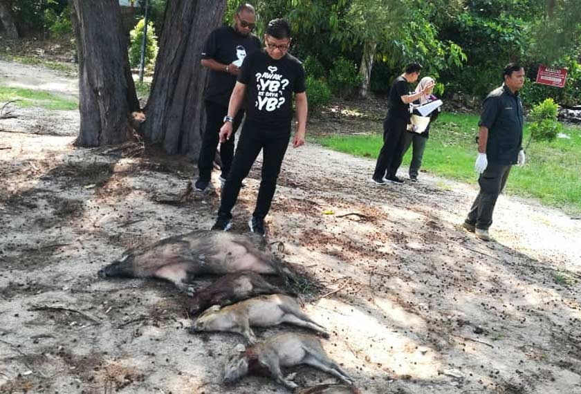 Antara bangkai babi hutan yang ditembak oleh pasukan penguatkuasa Jabatan Perhilitan Melaka. - Gambar Astro AWANI/ SHUHADA ABDUL KADIR